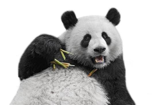 google_panda_4.2.jpg